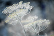Flowering dill clusters - 164230393