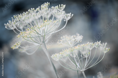 Flowering dill clusters