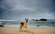 German Shepherd dog on beach with rainbow