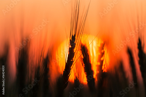 Aluminium Oranje eclat Ears of wheat on the background of a golden sunset