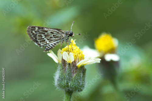 Pale-marked Ace Butterfly on Grass flower.