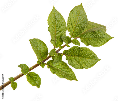Part of a potato bush with green leaves. Isolated on white background