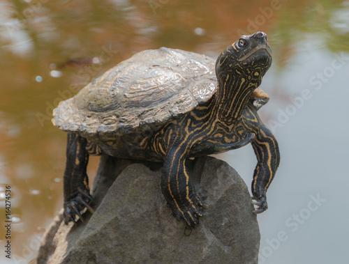 Fotobehang Schildpad Schildkröte sonnt sich auf Stein im Teich