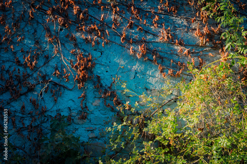 Fotobehang Groen blauw Foglie rosse su un muro blu