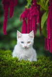 White kitten with different eye color