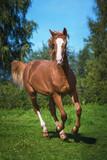 Beautiful horse running in summer