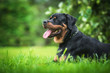 Rottweiler dog in summer