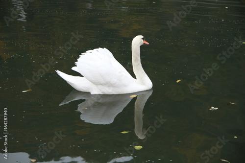 Fotobehang Schwan mit spiegelung
