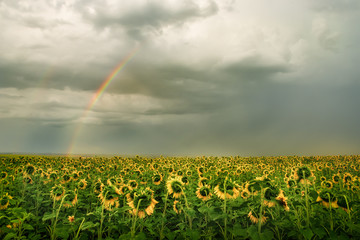 Field with yellow sunflowers and a stormy sky with clouds. Rainbow in the sky. Beautiful countryside landscape