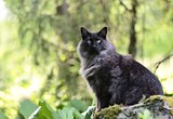 Norwegian forest cat on a stone