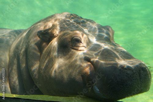 Hippopotame nageant dans une eau claire Poster