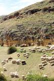 A herd of sheeps in Segovia, Spain - 164321196
