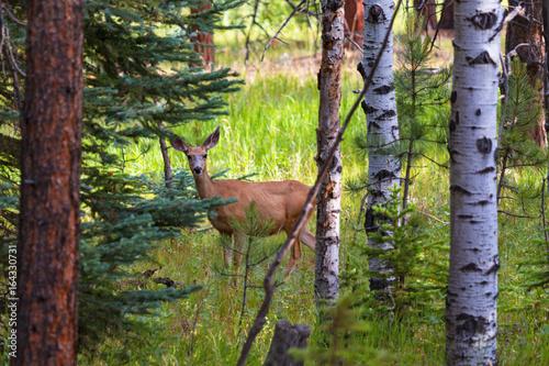 Mamma Mule Deer Poster