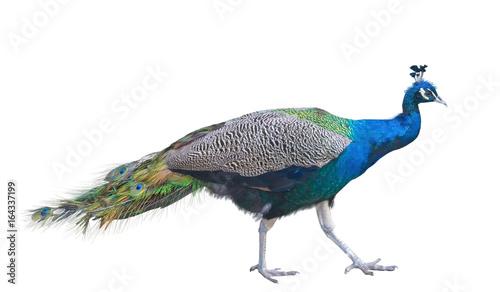 Fotobehang Pauw The big peacock