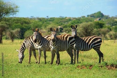 Zebra family in Tanzania