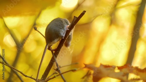 Tuinposter Eekhoorn Small Mouse on a Branch in Golden Autumn Sunny Forest. Mammals of the Forest. Wild Life