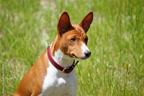 Aluminium Hond Basenji dog in the park. Purebred gorgeous red dog.