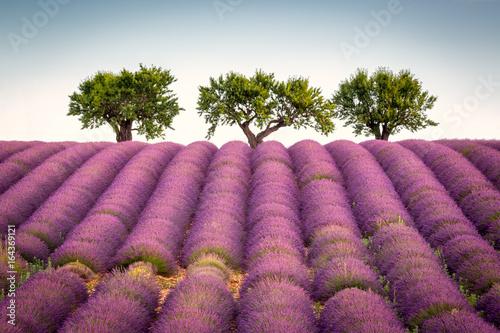 Plexiglas Lavendel Lavender field near Valensole, Provence, France