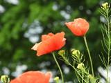 Mohnblumen auf Usedom