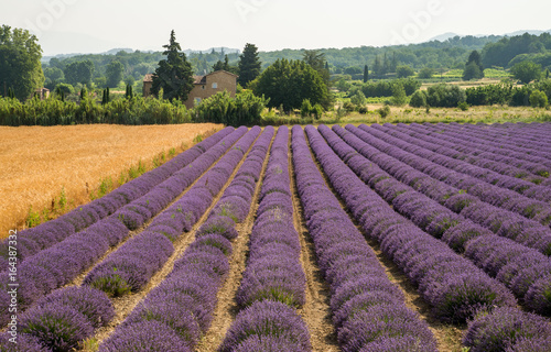 Purple blooming lavender fields in Provence, France during summer © Olja
