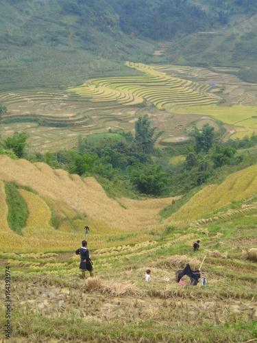 Fotobehang Rijstvelden Récolte traditionnelle du riz au Vietnam