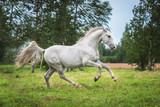 Beautiful lipizzaner stallion running on the field - 164400520