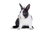 Little funny black and white rabbit isolated on white