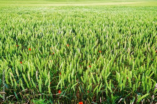 champ de blés vert.