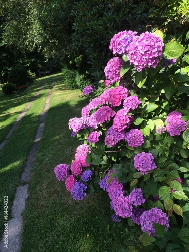 Fotobehang Hydrangea Hortensien blühen am Wegesrand