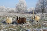 Schafe im Raureif - 164446785