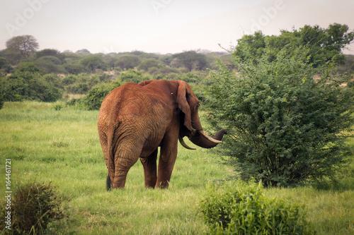 African elephant walking towards bush at Tsavo West Reserve