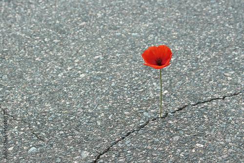 Foto op Canvas Klaprozen Mohnblume auf Straße