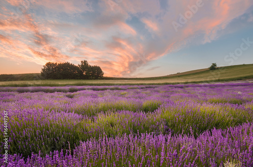 Blooming lavender fields in Little Poland, beautfiul sunrise