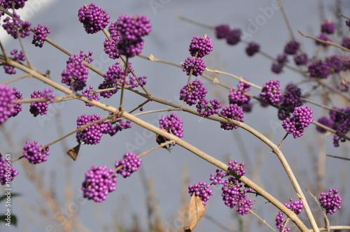 baies violettes