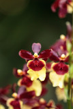 Yellow and maroon Oncidium orchid hybrid flowers