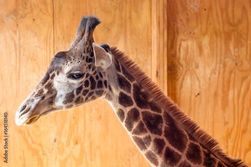 Giraffe sideview in barn Poster