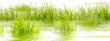 flore aquatique, herbe des marais