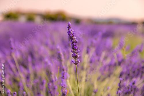 Aluminium Lavendel Champ de lavande