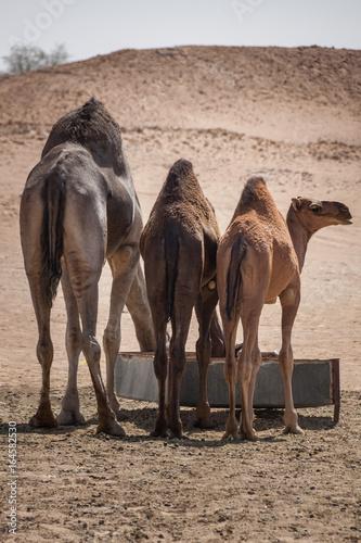 drei Kamele von hinten beim Fressen