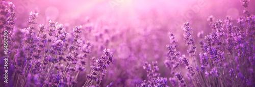 violet lavender field - 164587390