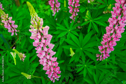 bright pink and purple Lupine, flower with many petals