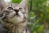 little tabby blue cat in the green summer grass