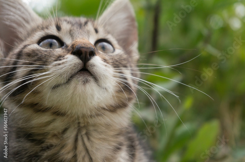 little tabby blue cat in the green summer grass Poster