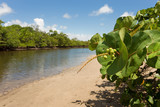 Iconic sea grape tree (coccoloba uvifera) alongside a tidal estuary creek and mangrove forest in wild coastal Florida