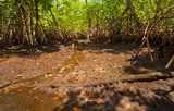 A dry shallow-water tidal mangrove forest drains its last water at low tide.  Taken in South Florida, at Von D. Mizell-Eula Johnson State Park.