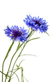 Cornflowers isolated on a white background