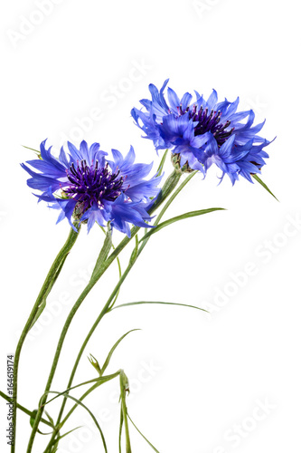 Leinwanddruck Bild Cornflowers isolated on a white background