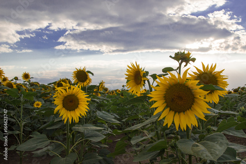 Foto op Canvas Lavendel Sunflower