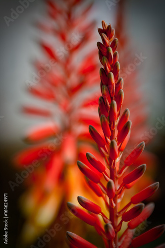 Fotobehang Arizona Aloe Flowers at Boyce Thompson Arboreturm near Superior, Arizona