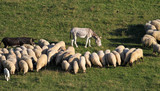 Two donkeys and sheep on the meadow - 164629505